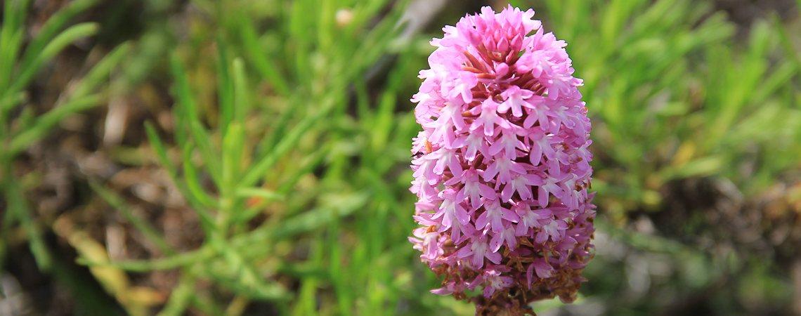 Wandern Lago Maggiore: Blume am Wegesrand